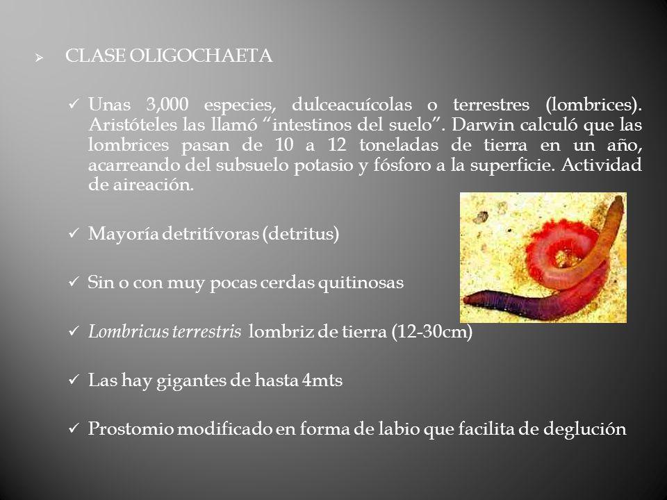 CLASE OLIGOCHAETA Unas 3,000 especies, dulceacuícolas o terrestres (lombrices).