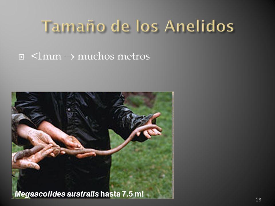 28 <1mm muchos metros Megascolides australis hasta 7.5 m!