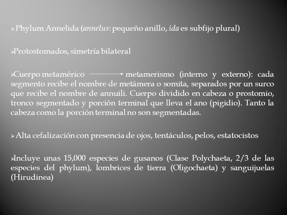 Septos Prostomio Pigidio Peristomio