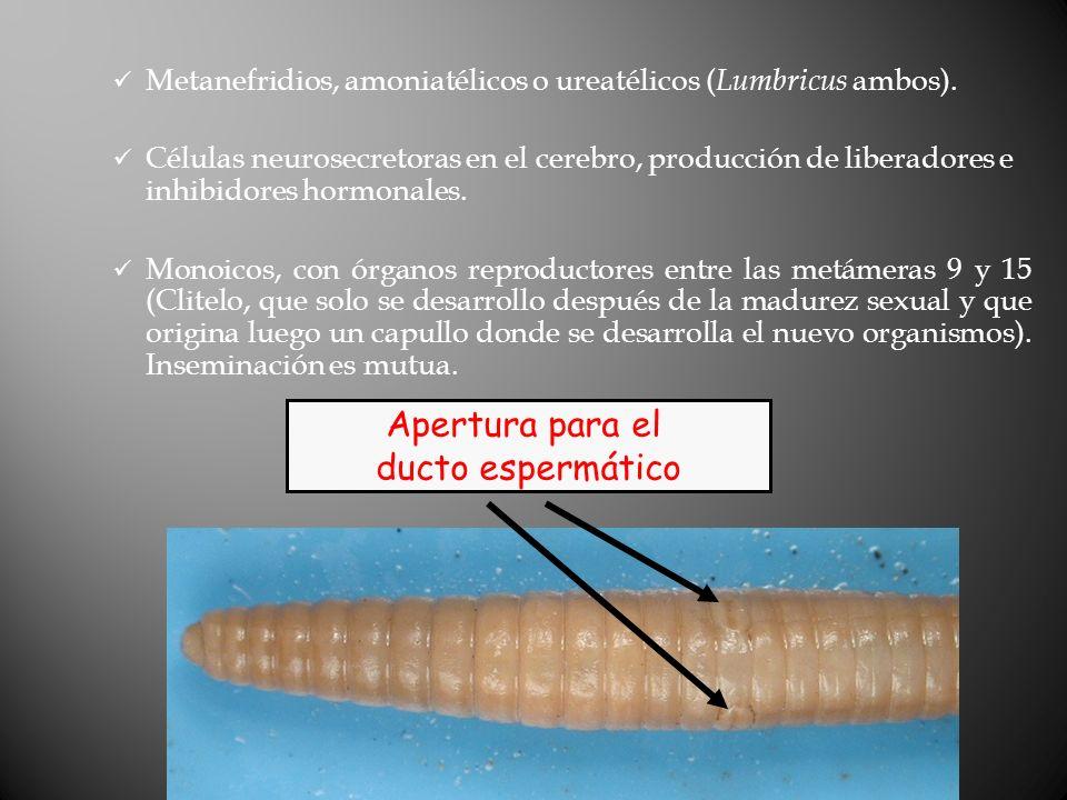Metanefridios, amoniatélicos o ureatélicos ( Lumbricus ambos).
