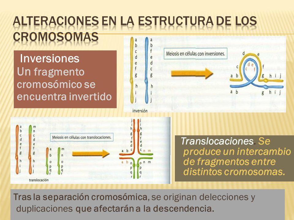 Inversiones Un fragmento cromosómico se encuentra invertido Translocaciones. Se produce un intercambio de fragmentos entre distintos cromosomas. Tras