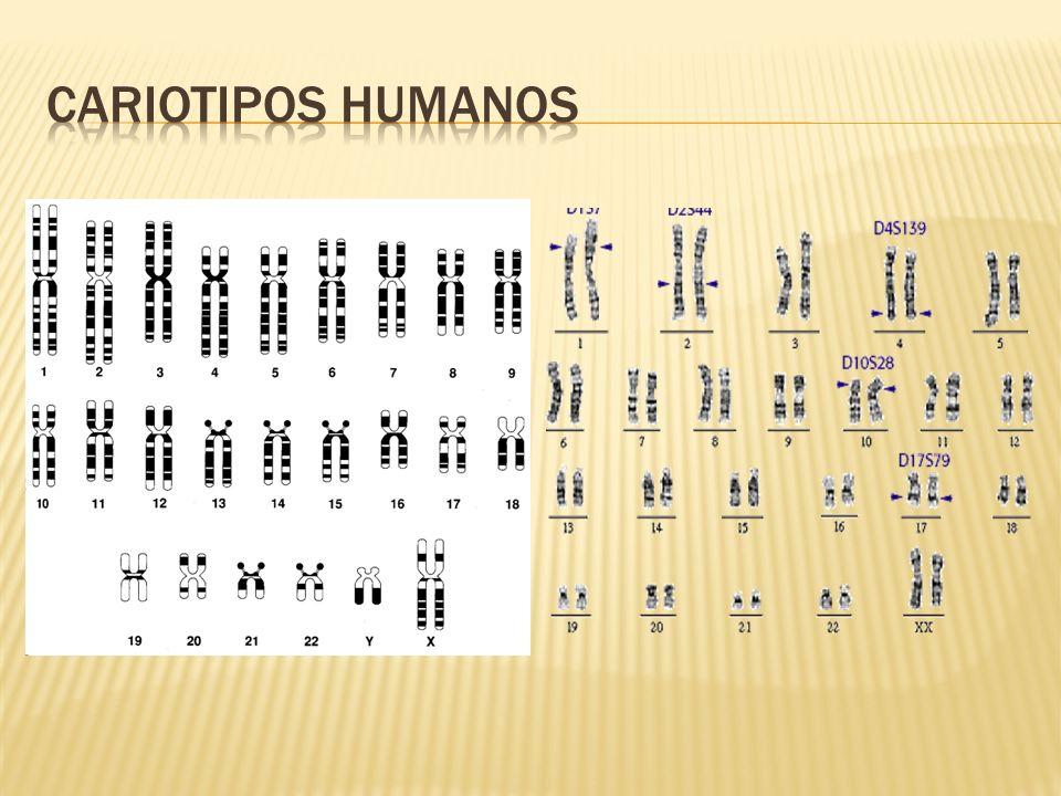 Inversiones Un fragmento cromosómico se encuentra invertido Translocaciones.