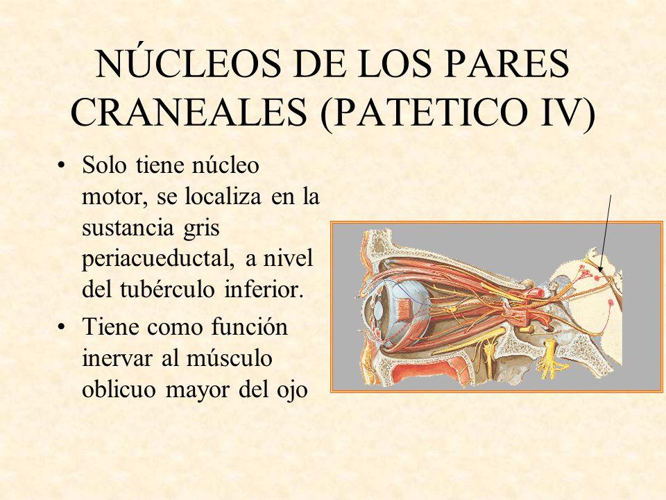 NÚCLEOS DE LOS PARES CRANEALES (PATETICO IV) Solo tiene núcleo motor, se localiza en la sustancia gris periacueductal, a nivel del tubérculo inferior.