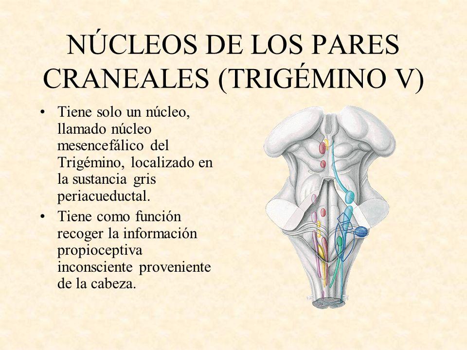 NÚCLEOS DE LOS PARES CRANEALES (TRIGÉMINO V) Tiene solo un núcleo, llamado núcleo mesencefálico del Trigémino, localizado en la sustancia gris periacu