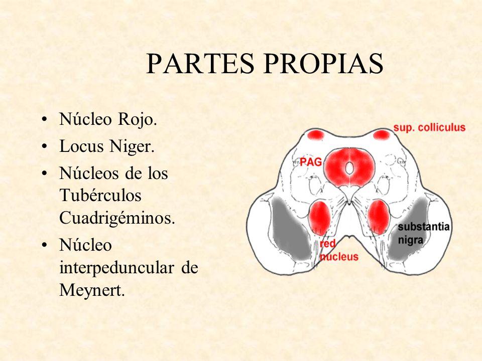 PARTES PROPIAS Núcleo Rojo. Locus Niger. Núcleos de los Tubérculos Cuadrigéminos. Núcleo interpeduncular de Meynert.