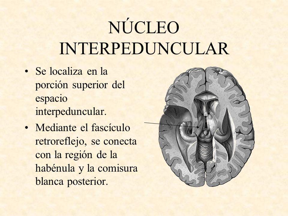 NÚCLEO INTERPEDUNCULAR Se localiza en la porción superior del espacio interpeduncular. Mediante el fascículo retroreflejo, se conecta con la región de