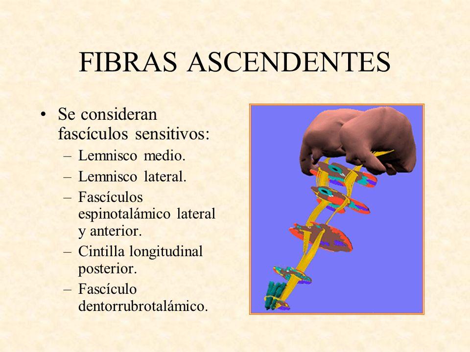 FIBRAS ASCENDENTES Se consideran fascículos sensitivos: –Lemnisco medio. –Lemnisco lateral. –Fascículos espinotalámico lateral y anterior. –Cintilla l