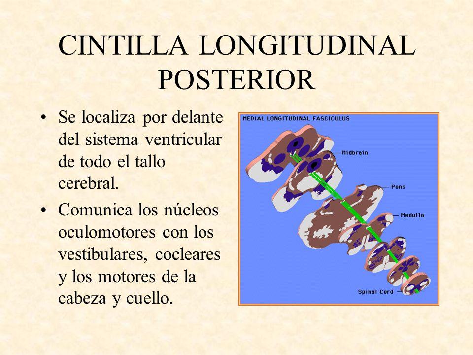 CINTILLA LONGITUDINAL POSTERIOR Se localiza por delante del sistema ventricular de todo el tallo cerebral. Comunica los núcleos oculomotores con los v