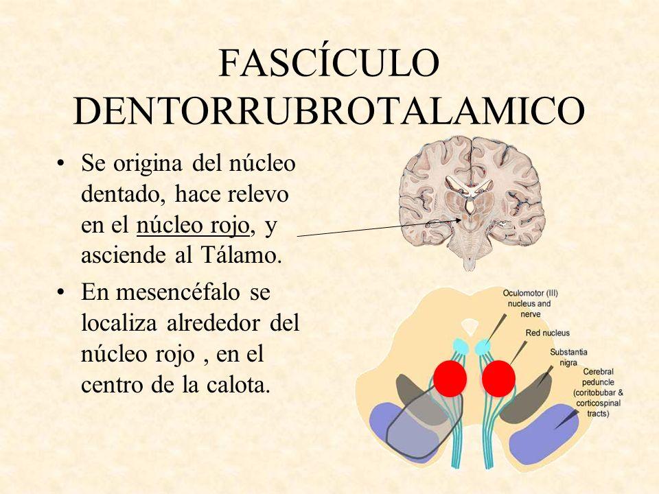 FASCÍCULO DENTORRUBROTALAMICO Se origina del núcleo dentado, hace relevo en el núcleo rojo, y asciende al Tálamo. En mesencéfalo se localiza alrededor