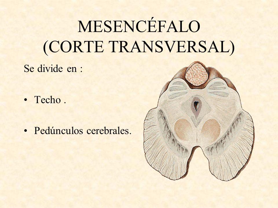 MESENCÉFALO (CORTE TRANSVERSAL) Se divide en : Techo. Pedúnculos cerebrales.