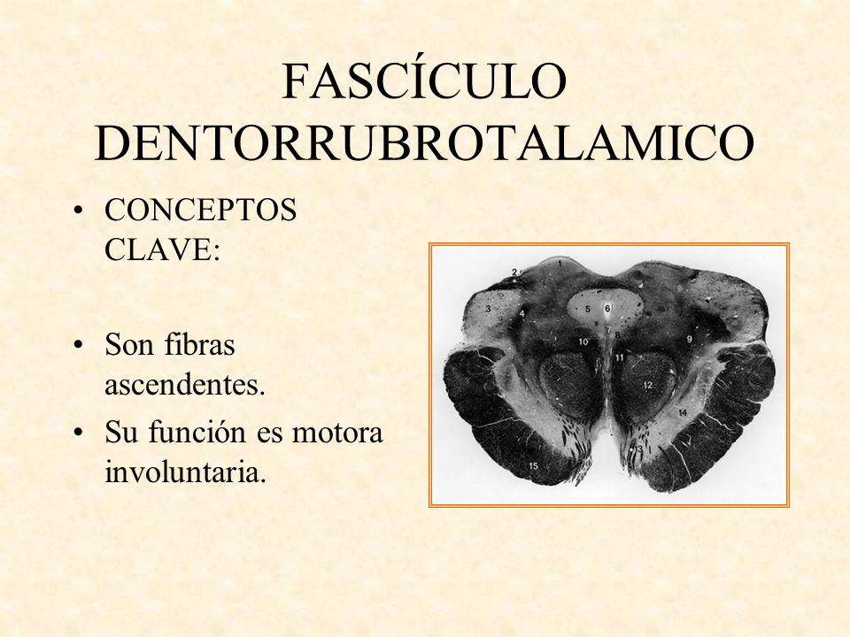 FASCÍCULO DENTORRUBROTALAMICO CONCEPTOS CLAVE: Son fibras ascendentes. Su función es motora involuntaria.