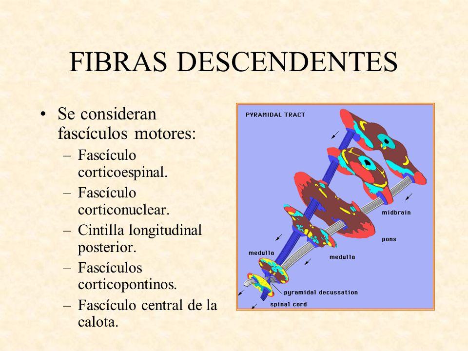 FIBRAS DESCENDENTES Se consideran fascículos motores: –Fascículo corticoespinal. –Fascículo corticonuclear. –Cintilla longitudinal posterior. –Fascícu