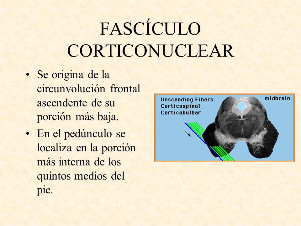FASCÍCULO CORTICONUCLEAR Se origina de la circunvolución frontal ascendente de su porción más baja. En el pedúnculo se localiza en la porción más inte