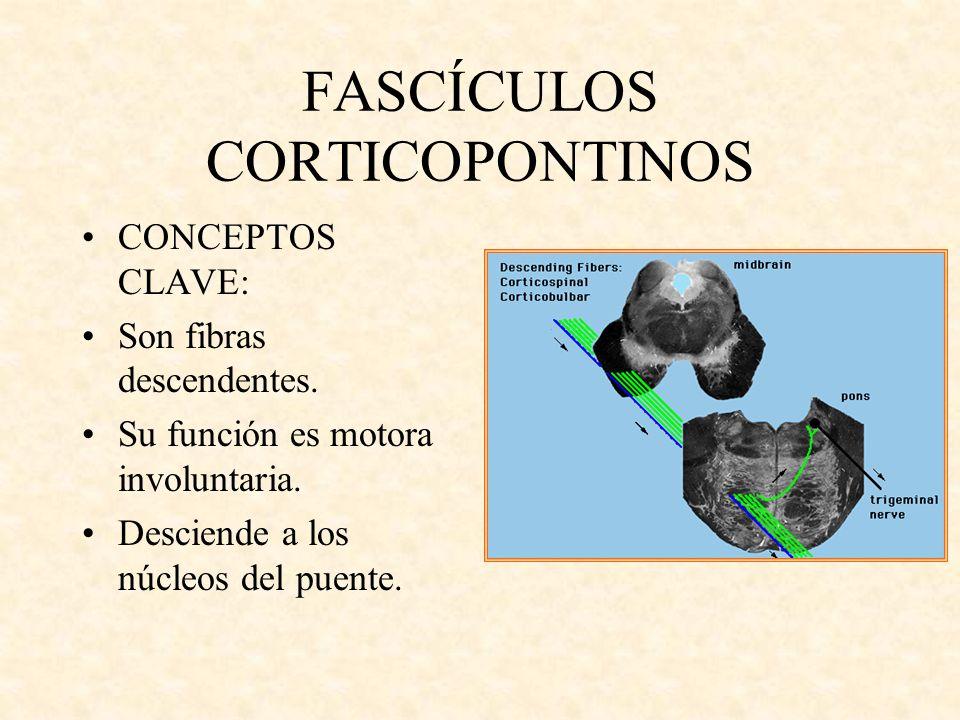 FASCÍCULOS CORTICOPONTINOS CONCEPTOS CLAVE: Son fibras descendentes. Su función es motora involuntaria. Desciende a los núcleos del puente.