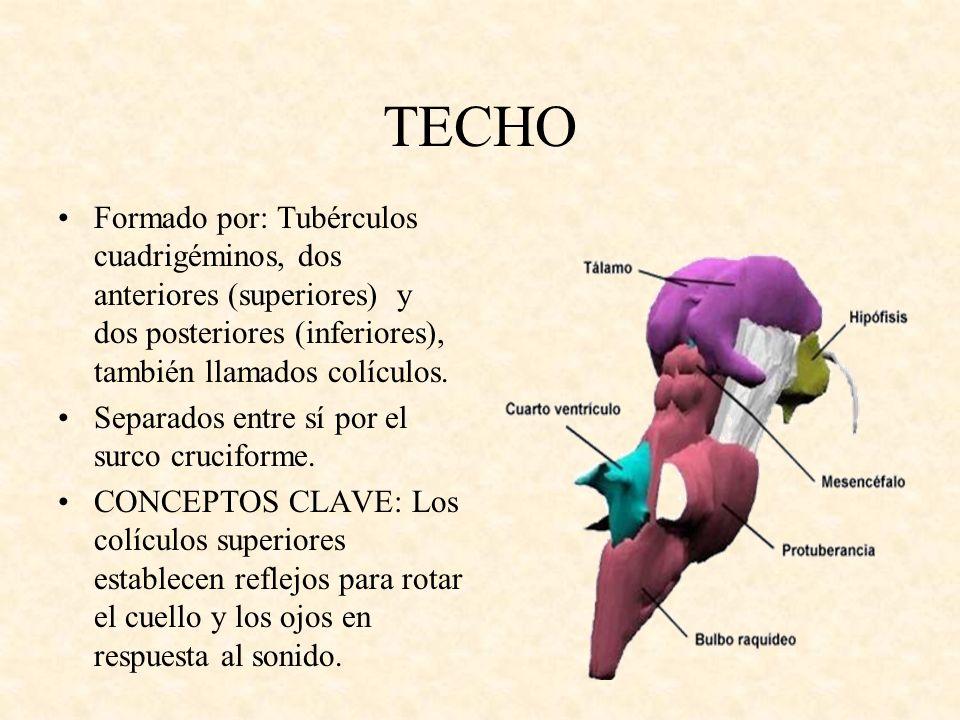 TECHO Formado por: Tubérculos cuadrigéminos, dos anteriores (superiores) y dos posteriores (inferiores), también llamados colículos. Separados entre s