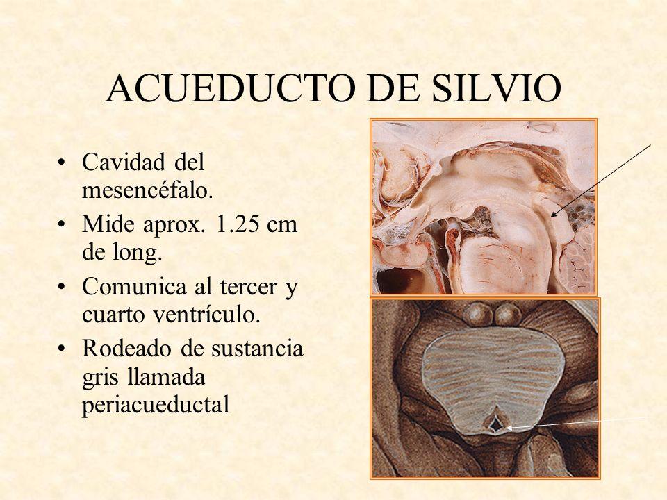 ACUEDUCTO DE SILVIO Cavidad del mesencéfalo. Mide aprox. 1.25 cm de long. Comunica al tercer y cuarto ventrículo. Rodeado de sustancia gris llamada pe