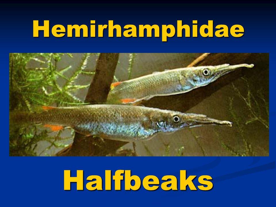 Halfbeaks Hemirhamphidae