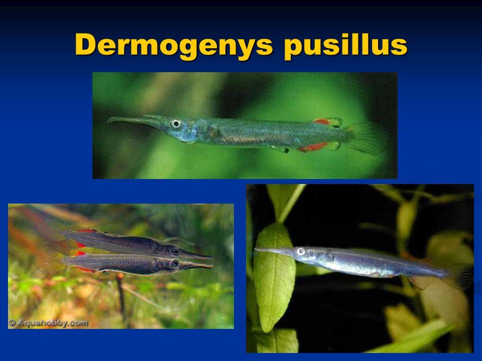 Dermogenys pusillus
