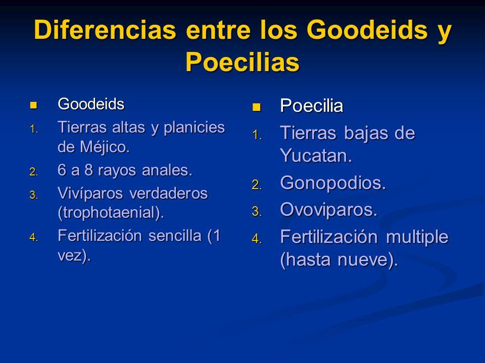 Diferencias entre los Goodeids y Poecilias Goodeids Goodeids Tierras altas y planicies de Méjico. Tierras altas y planicies de Méjico. 6 a 8 rayos ana