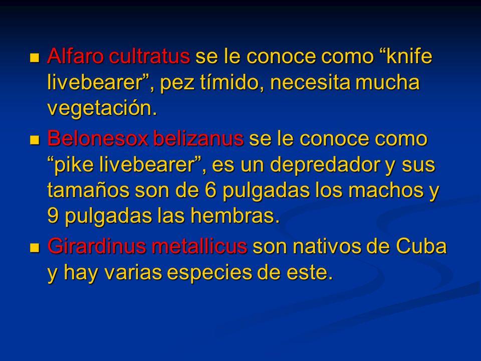Alfaro cultratus se le conoce como knife livebearer, pez tímido, necesita mucha vegetación. Alfaro cultratus se le conoce como knife livebearer, pez t