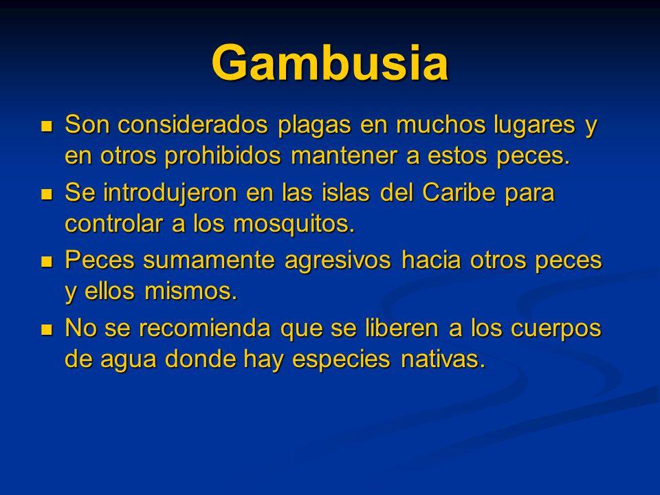 Gambusia Son considerados plagas en muchos lugares y en otros prohibidos mantener a estos peces. Son considerados plagas en muchos lugares y en otros