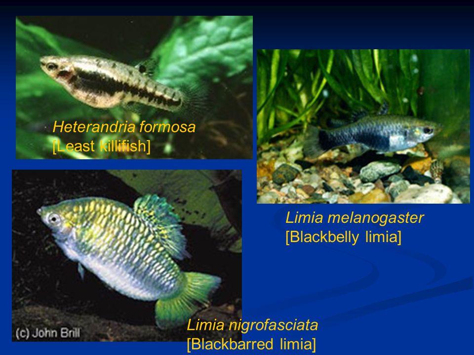 Heterandria formosa [Least killifish] Limia melanogaster [Blackbelly limia] Limia nigrofasciata [Blackbarred limia]