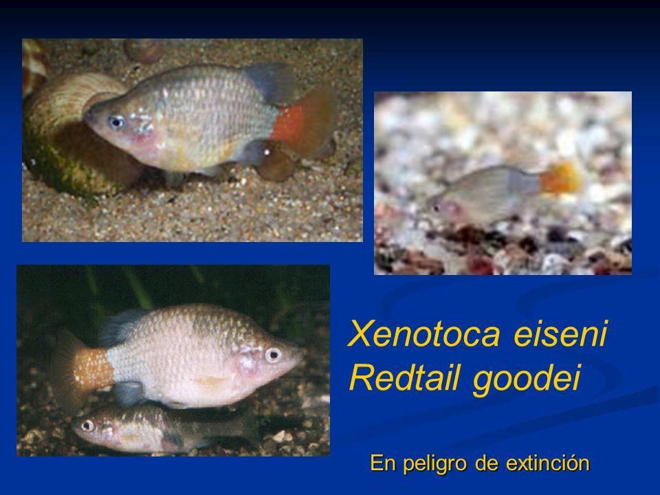 Xenotoca eiseni Redtail goodei En peligro de extinción