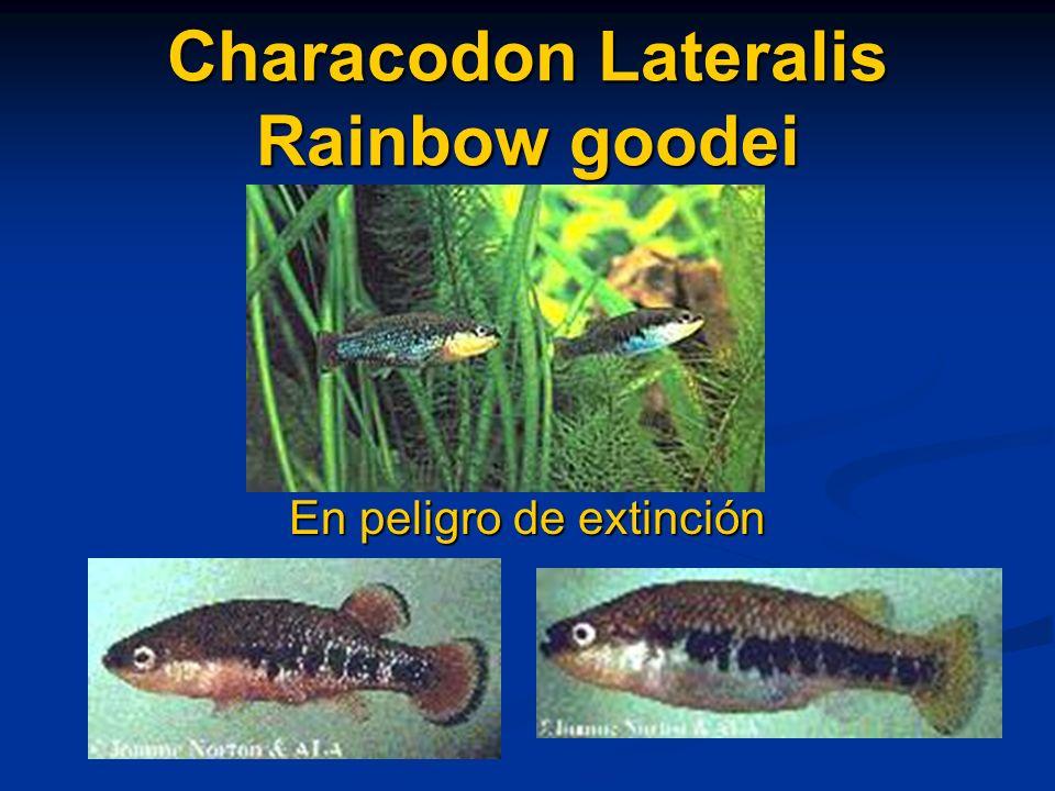 Characodon Lateralis Rainbow goodei En peligro de extinción