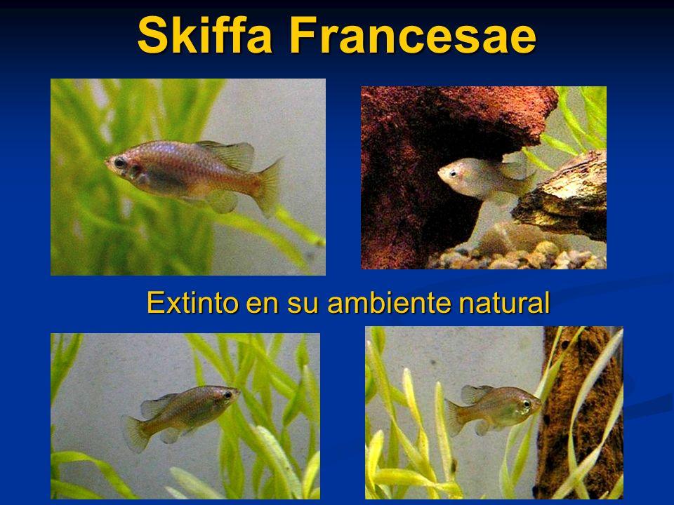 Skiffa Francesae Extinto en su ambiente natural