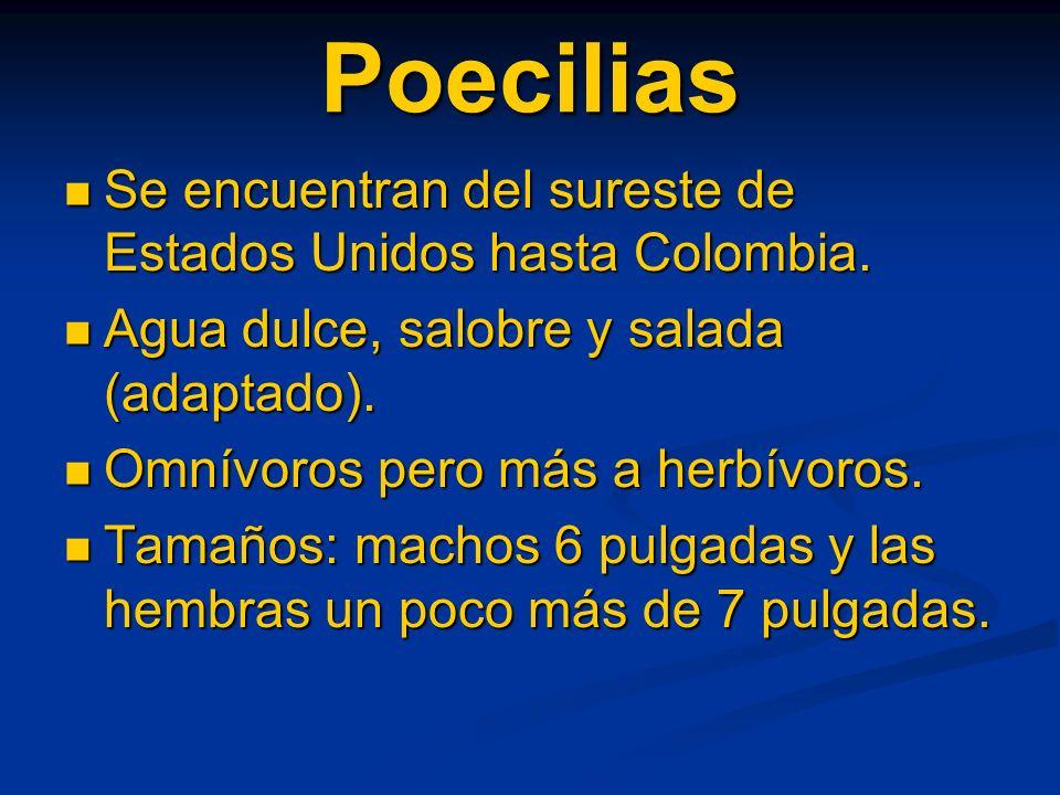 Poecilias Se encuentran del sureste de Estados Unidos hasta Colombia. Se encuentran del sureste de Estados Unidos hasta Colombia. Agua dulce, salobre