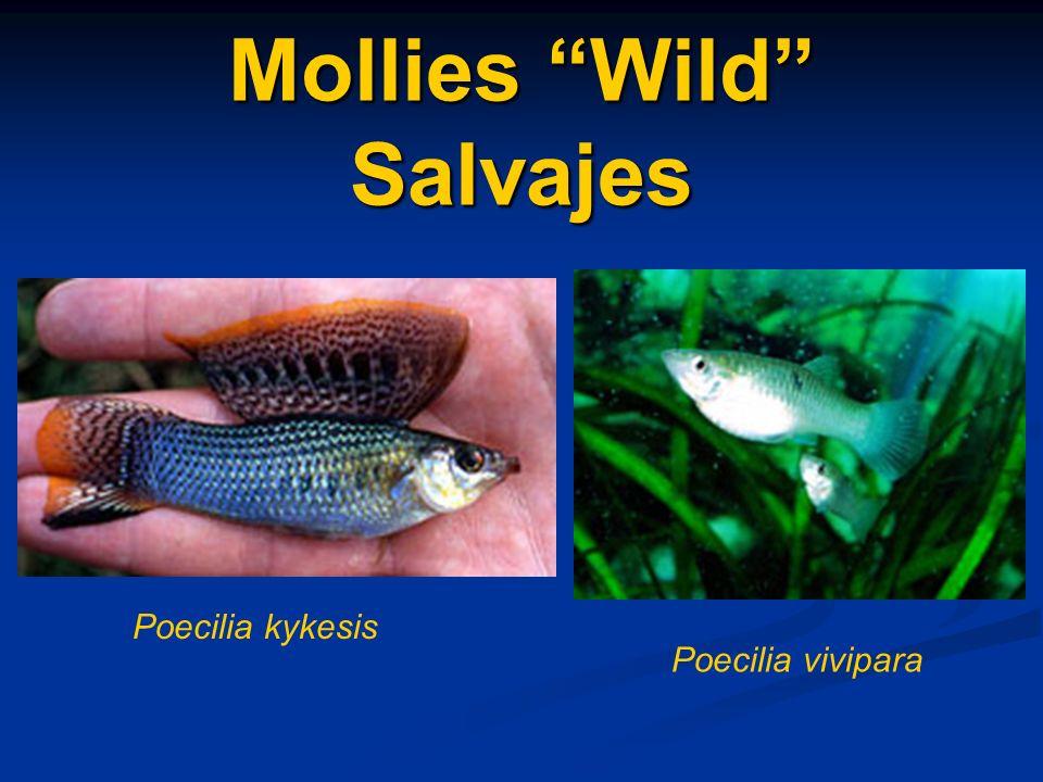 Mollies Wild Salvajes Poecilia vivipara Poecilia kykesis