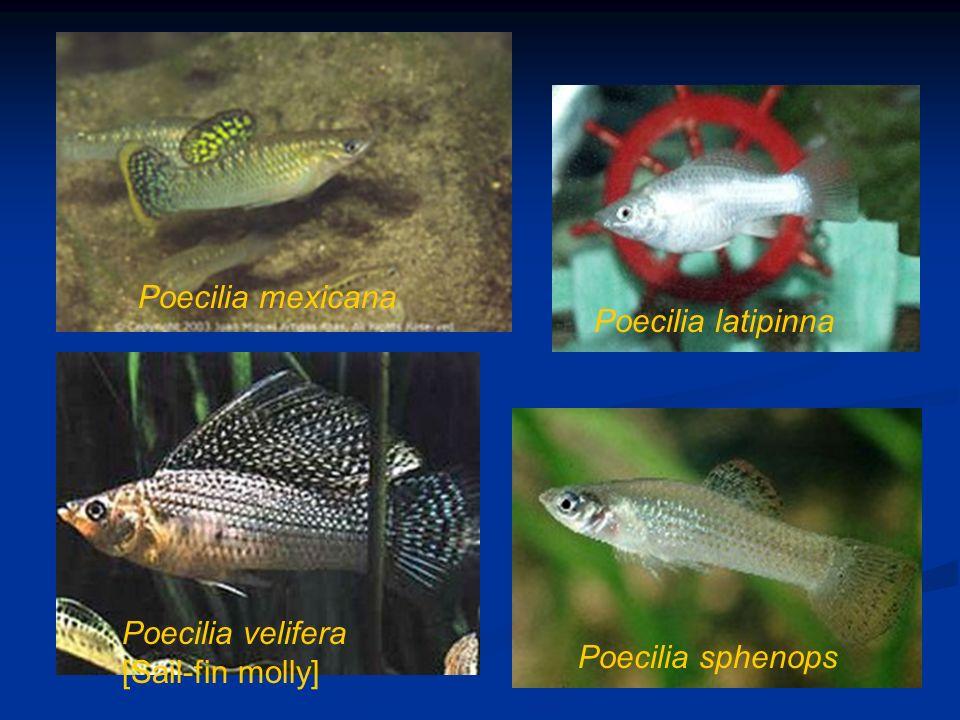 Poecilia latipinna Poecilia mexicana Poecilia sphenops Poecilia velifera [Sail-fin molly]
