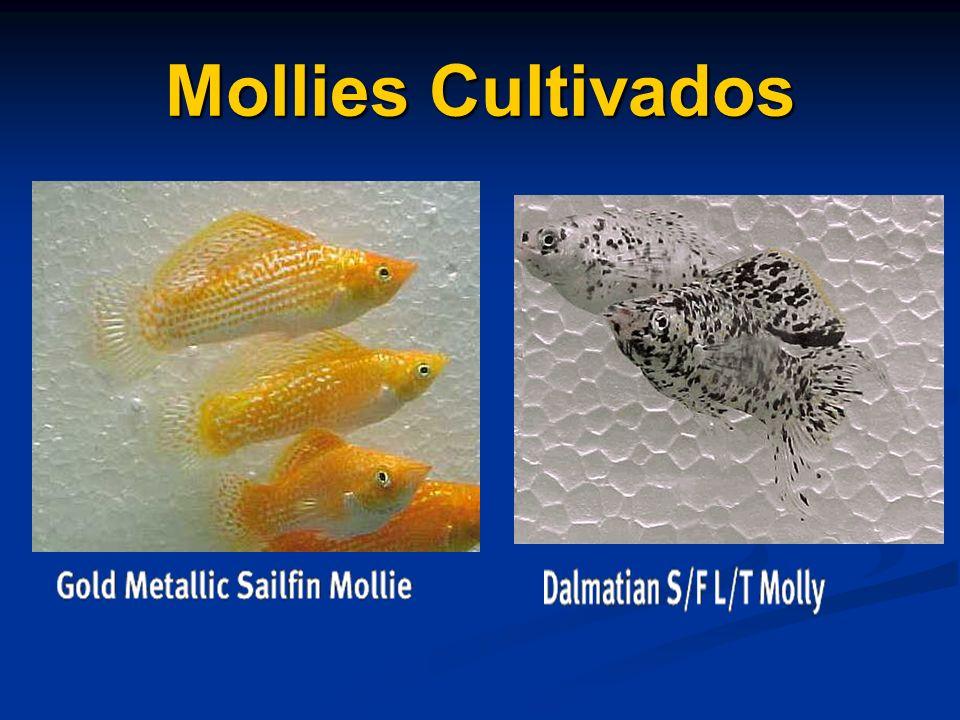 Mollies Cultivados