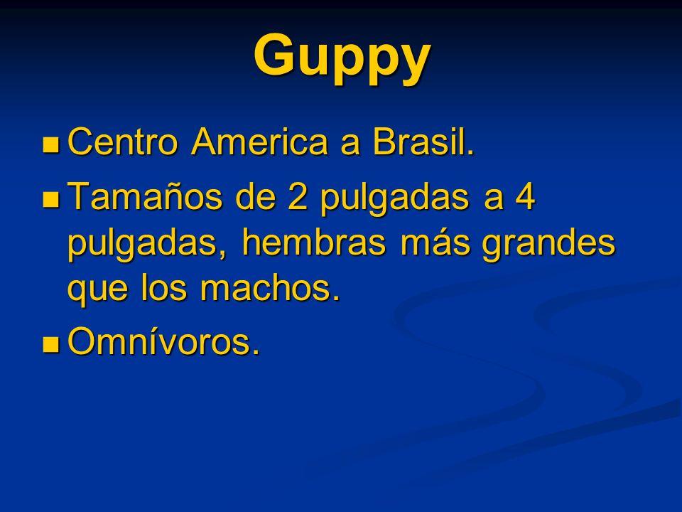 Guppy Centro America a Brasil. Centro America a Brasil. Tamaños de 2 pulgadas a 4 pulgadas, hembras más grandes que los machos. Tamaños de 2 pulgadas