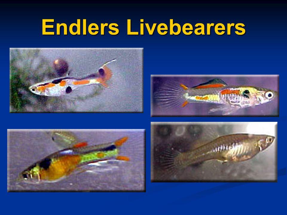 Endlers Livebearers