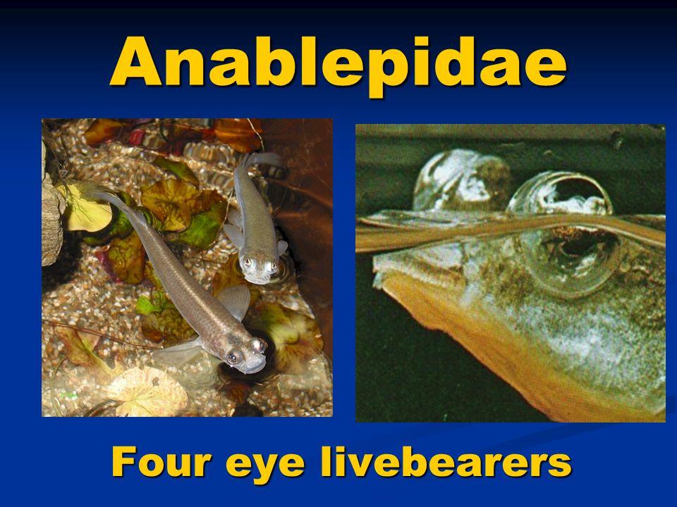 Familia Anablepidae Tres géneros, trece especies, se encuentran en agua dulce, salobre y salada o marina.