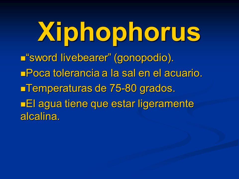 Xiphophorus sword livebearer (gonopodio). sword livebearer (gonopodio). Poca tolerancia a la sal en el acuario. Poca tolerancia a la sal en el acuario