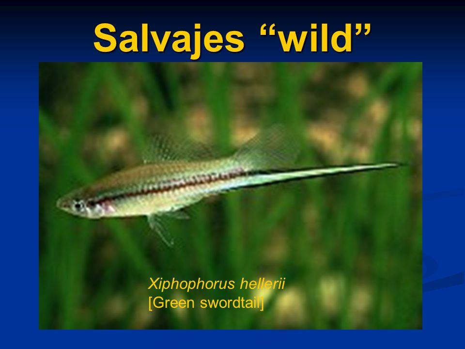 Salvajes wild Xiphophorus hellerii [Green swordtail]
