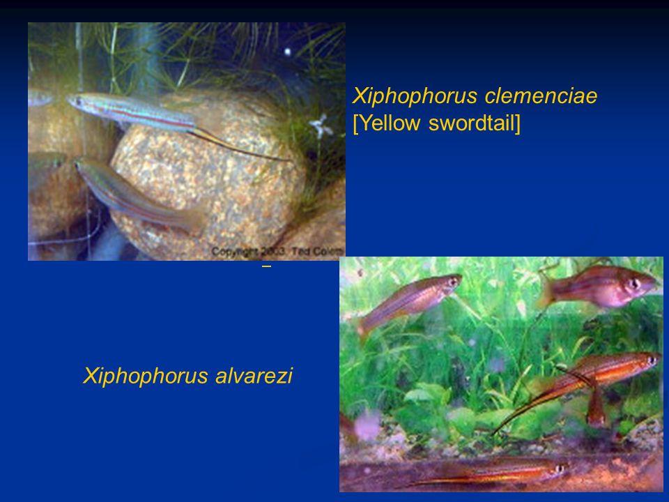 Xiphophorus clemenciae [Yellow swordtail] Xiphophorus alvarezi