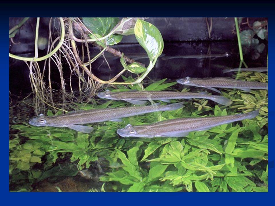 Gambusia yucatana Gambusia sexradiata [Teardrop mosquito] Gambusia affinis [Mosquitofish]
