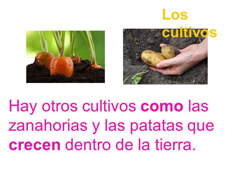 Casi todas las verduras y frutas crecen en las ramas de las plantas y de los árboles Los cultivos