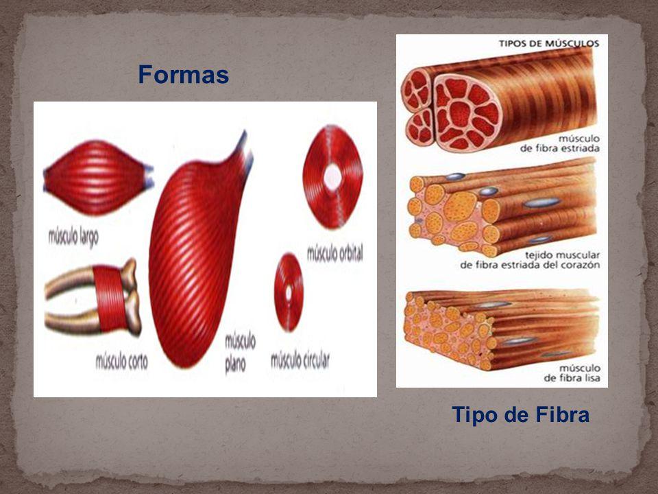 Formas Tipo de Fibra