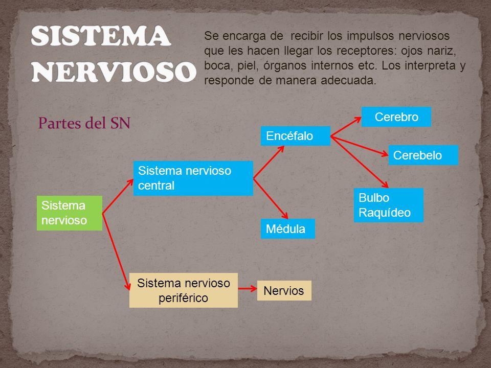 Se encarga de recibir los impulsos nerviosos que les hacen llegar los receptores: ojos nariz, boca, piel, órganos internos etc.