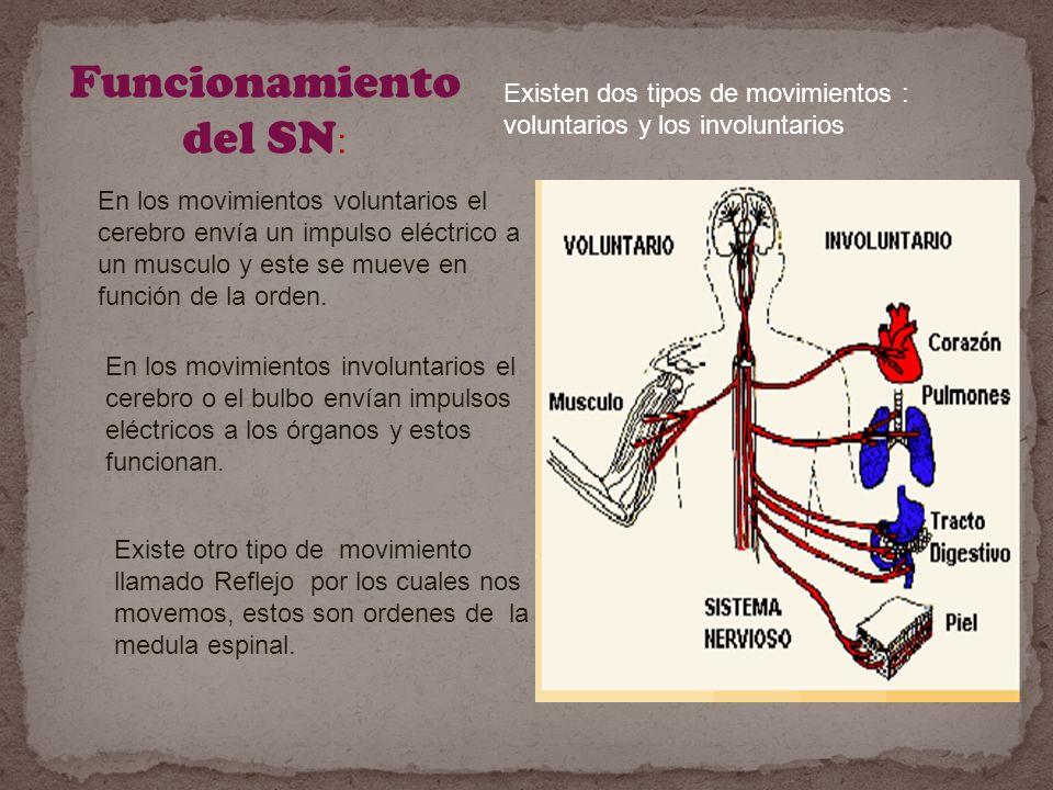 Funcionamiento del SN : Existen dos tipos de movimientos : voluntarios y los involuntarios En los movimientos voluntarios el cerebro envía un impulso eléctrico a un musculo y este se mueve en función de la orden.