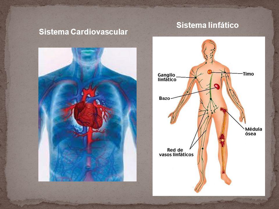 Sistema linfático Sistema Cardiovascular