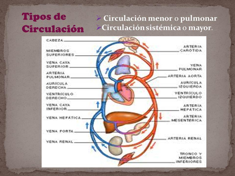 Tipos de Circulación Circulación menor o pulmonar Circulación sistémica o mayor.