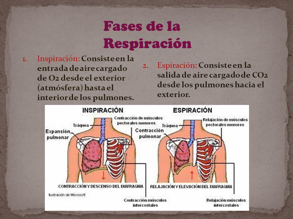 Fases de la Respiración 1.Inspiración: Consiste en la entrada de aire cargado de O2 desde el exterior (atmósfera) hasta el interior de los pulmones.