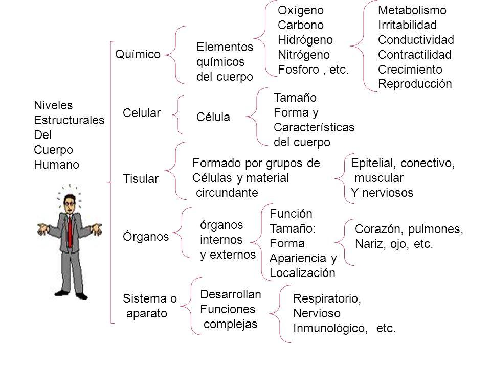 Niveles Estructurales Del Cuerpo Humano Químico Celular Tisular Órganos Sistema o aparato Elementos químicos del cuerpo Metabolismo Irritabilidad Conductividad Contractilidad Crecimiento Reproducción Célula Formado por grupos de Células y material circundante órganos internos y externos Tamaño Forma y Características del cuerpo Epitelial, conectivo, muscular Y nerviosos Corazón, pulmones, Nariz, ojo, etc.