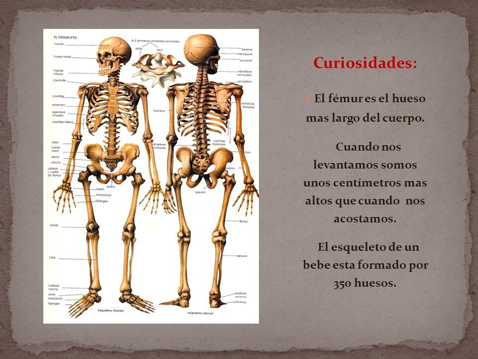 Curiosidades: El fémur es el hueso mas largo del cuerpo.