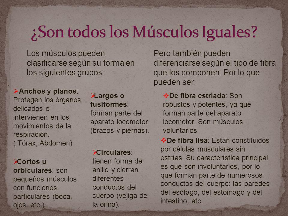 Los músculos pueden clasificarse según su forma en los siguientes grupos: Anchos y planos: Protegen los órganos delicados e intervienen en los movimientos de la respiración.